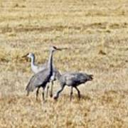 Sand Hill Cranes Poster