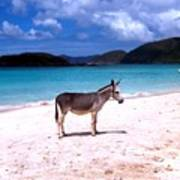 St. John's Wild Donkey Poster