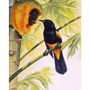 St. Lucia Oriole And Papaya Poster by Christopher Cox
