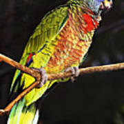 St Lucia Parrot Poster