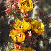 Staghorn Cholla Blossoms Poster