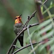Standing Guard -- Anna's Hummingbird In Templeton, California Poster