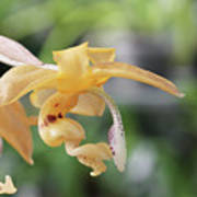 Stanhopea Orchid Poster