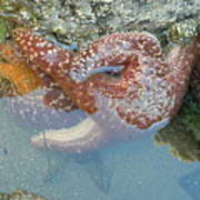 Starfish Sandwhich Poster