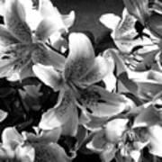Stargazer Lilies Bw Poster