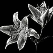 Stargazer Lily In Black And White Poster