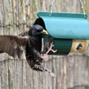 Starling On Bird Feeder Poster