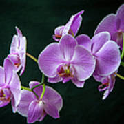 Stem Of Orchids  Poster