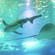 Sting Ray And Shark Poster