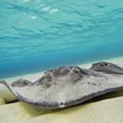 Stingrays Under Water Poster