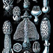 Stinkhorn Mushrooms Vintage Illustration Poster