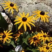 Stone Flowers Black Eyed Susan Poster