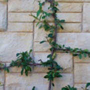 Stone Wall Vine Poster