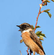 Stonechat On Branch Poster