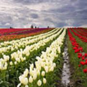 Storm Over Tulips Poster by Mike  Dawson