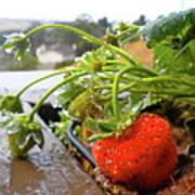 Strawberries And Rain Poster