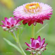 Strawflower Blossoms Poster