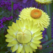 Strawflower Perfection  Poster