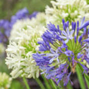 Striking Blue And White Agapanthus Flowers Poster