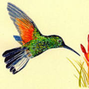 Stripe Tailed Hummingbird Poster