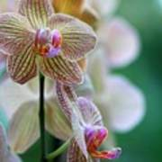 Striped Orchid 1 Poster