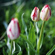 Striped Tulips In Spring Poster