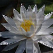 Stripped Waterlily Poster