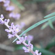 Study In Purple Monkey Grass Bloom Poster