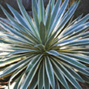 Stunning Agave Plant Poster
