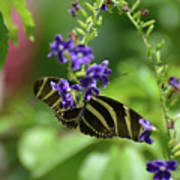 Stunning Black And White Zebra Butterfly In The Spring Poster