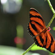 Stunning Orange And Black Oak Tiger Butterfly In Nature Poster