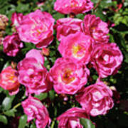 Stunning Pink Roses Poster