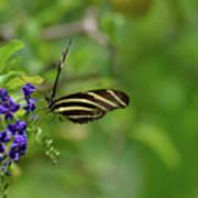 Stunning Shot Of A Zebra Butterfly On A Flower Poster