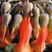 Succulent Bells Poster