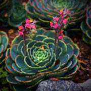 Succulent Flowers Poster