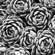 Succulents In Black And White Poster