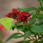 Sulphur Butterfly On Red Flower Poster