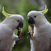 Sulphur Crested Cockatoo Pair Poster