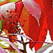 Sumac Closeup On White Pine Trail In Kent County, Michigan Poster