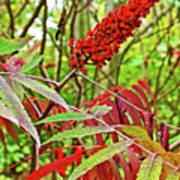 Sumac On White Pine Trail In Kent County, Michigan  Poster