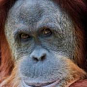 Sumatra Orangutan Portrait Poster