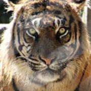 Sumatran Tiger-1440 Poster
