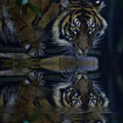 Sumatran Tiger Reflection Poster