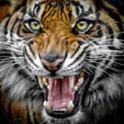 Sumatran Tiger Snarl Poster