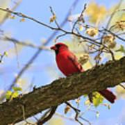 Summer Cardinal Poster