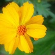 Summer Coreopsis Poster
