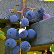 Summer Grapes Poster