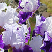 Summer Iris Garden Art Print White Purple Irises Flowers Baslee Troutman Poster