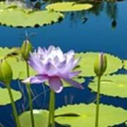 Summer Lilies Poster