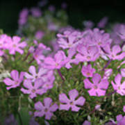 Summer Phlox Poster by Jeannie Burleson